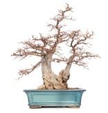 Carpinus coreana Yamadori, 60 cm, ± 40 years old