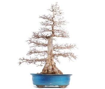 Carpinus coreana Yamadori, 75 cm, ± 50 anni