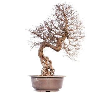 Carpinus coreana, 74 cm, ± 40 anni