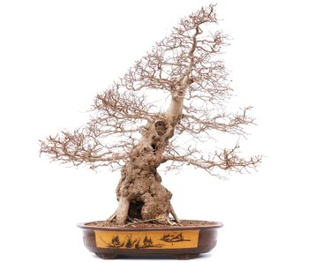 Carpinus coreana Yamadori, 88 cm, ± 75 años
