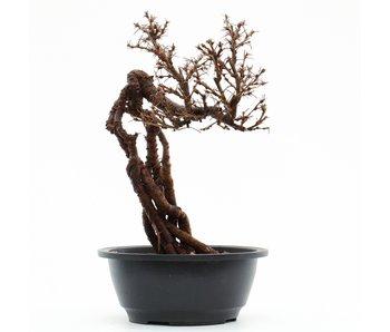 Caragana chamagu lam (kinjakuka), 28 cm, ± 12 years old