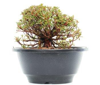 Rhododendron indicum, 10 cm, ± 10 jaar oud