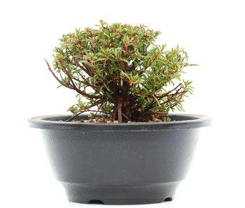 Rhododendron indicum, 8,5 cm, ± 10 jaar oud