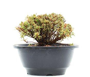 Rhododendron indicum, 9 cm, ± 10 jaar oud