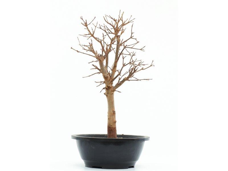 Acer buergerianum, 38,5 cm, ± 8 jaar oud