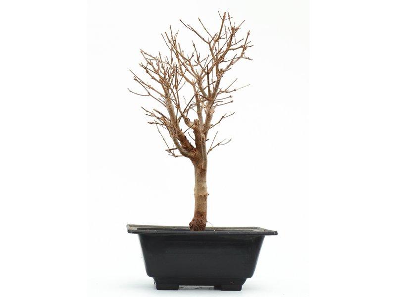 Acer buergerianum, 35 cm, ± 8 jaar oud