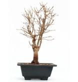 Acer buergerianum, 39 cm, ± 8 jaar oud
