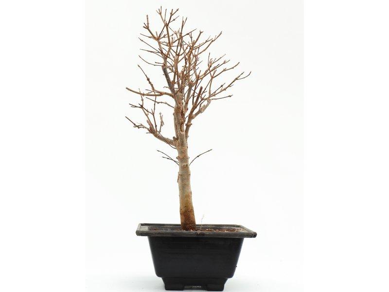 Acer buergerianum, 37 cm, ± 8 jaar oud