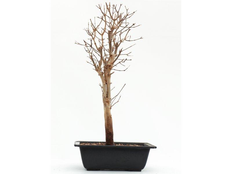 Acer buergerianum, 46 cm, ± 8 jaar oud
