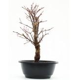 Acer palmatum Arakawa, 29,5 cm, ± 8 jaar oud, met uitzonderlijk ruwe schors
