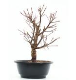 Acer palmatum Arakawa, 30 cm, ± 8 jaar oud, met uitzonderlijk ruwe schors