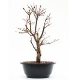 Acer palmatum Arakawa, 22,5 cm, ± 8 jaar oud, met uitzonderlijk ruwe schors