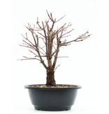 Acer palmatum Arakawa, 27,5 cm, ± 8 jaar oud, met uitzonderlijk ruwe schors