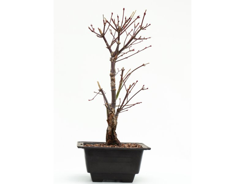 Acer palmatum Arakawa, 29 cm, ± 8 jaar oud, met uitzonderlijk ruwe schors