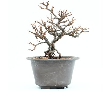 Chaenomeles speciosa C. Lagena (Chojubai), 18,3 cm, ± 25 jaar oud