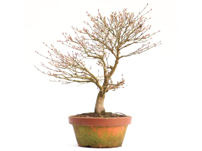 Acer palmatum Kashima, 36,5 cm, ± 37 jaar oud