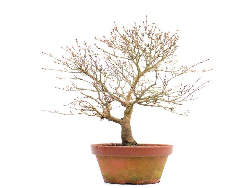 Acer palmatum Kashima, 34 cm, ± 37 jaar oud