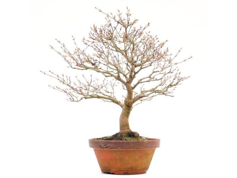 Acer palmatum Kashima, 38 cm, ± 37 jaar oud