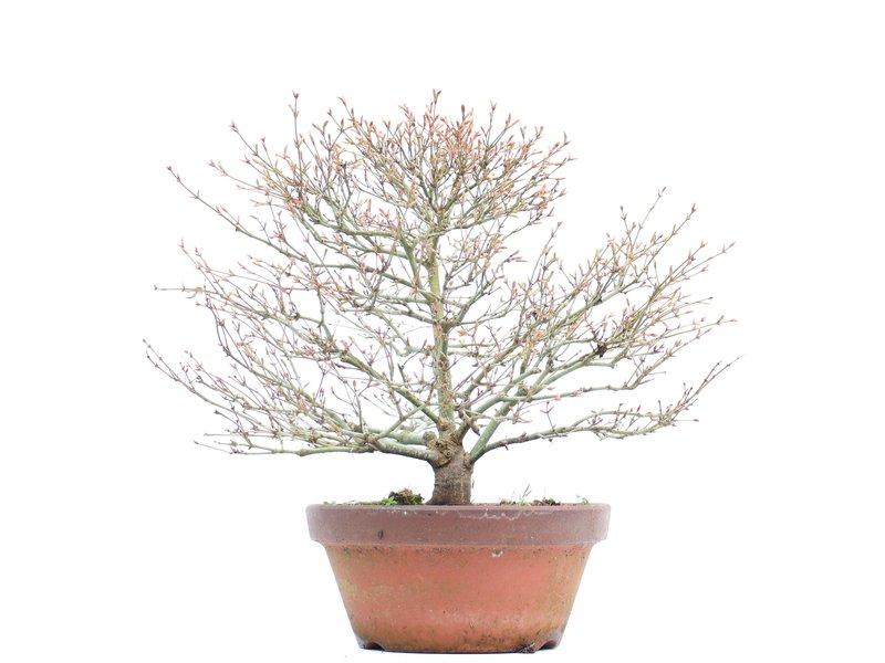 Acer palmatum Kashima, 34,5 cm, ± 37 jaar oud