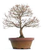 Acer palmatum Kashima, 41 cm, ± 37 jaar oud