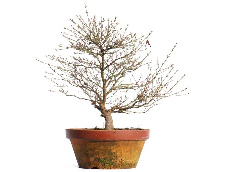 Acer palmatum Kashima, 39,5 cm, ± 37 jaar oud
