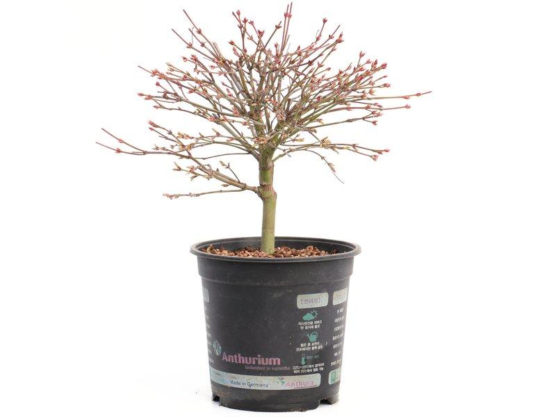 Acer palmatum Kiyohime, 21 cm, ± 8 jaar oud