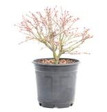 Acer palmatum Kiyohime, 17 cm, ± 8 jaar oud