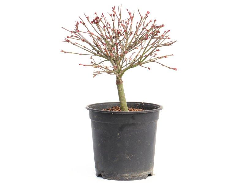 Acer palmatum Kiyohime, 20,5 cm, ± 8 jaar oud