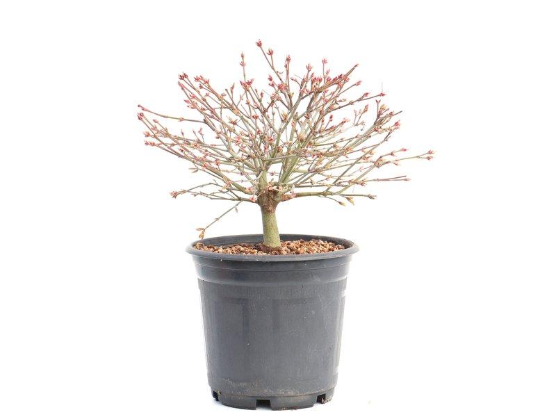 Acer palmatum Kiyohime, 17,5 cm, ± 8 jaar oud