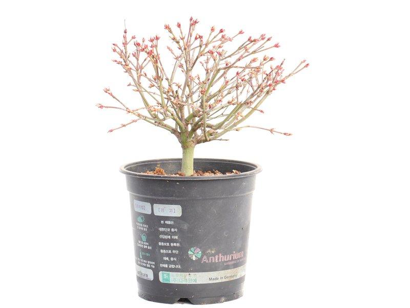 Acer palmatum Kiyohime, 16,5 cm, ± 8 jaar oud