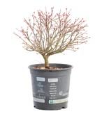 Acer palmatum Kiyohime, 20 cm, ± 8 jaar oud
