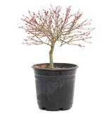 Acer palmatum Kiyohime, 19,5 cm, ± 8 jaar oud