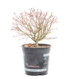 Acer palmatum Kiyohime, 19 cm, ± 8 jaar oud