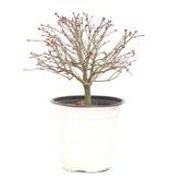 Acer palmatum Kiyohime, 19 cm, ± 9 jaar oud
