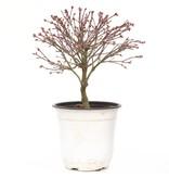 Acer palmatum Kiyohime, 22,5 cm, ± 9 jaar oud