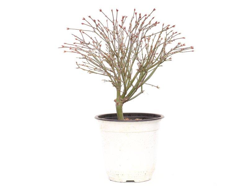 Acer palmatum Kiyohime, 24 cm, ± 9 jaar oud