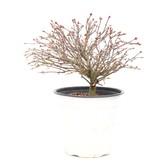 Acer palmatum Kiyohime, 18 cm, ± 9 jaar oud