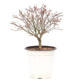 Acer palmatum Kiyohime, 20,5 cm, ± 9 jaar oud
