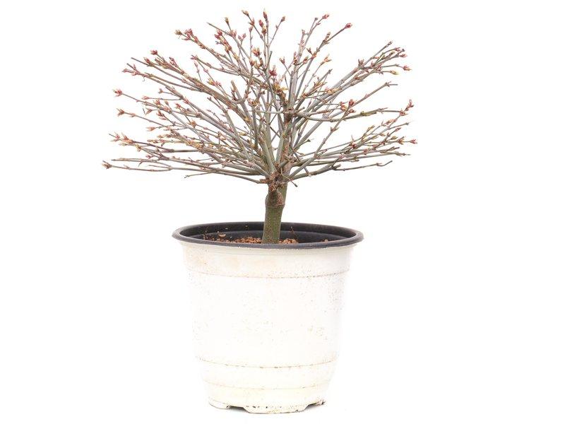Acer palmatum Kiyohime, 18,5 cm, ± 9 jaar oud