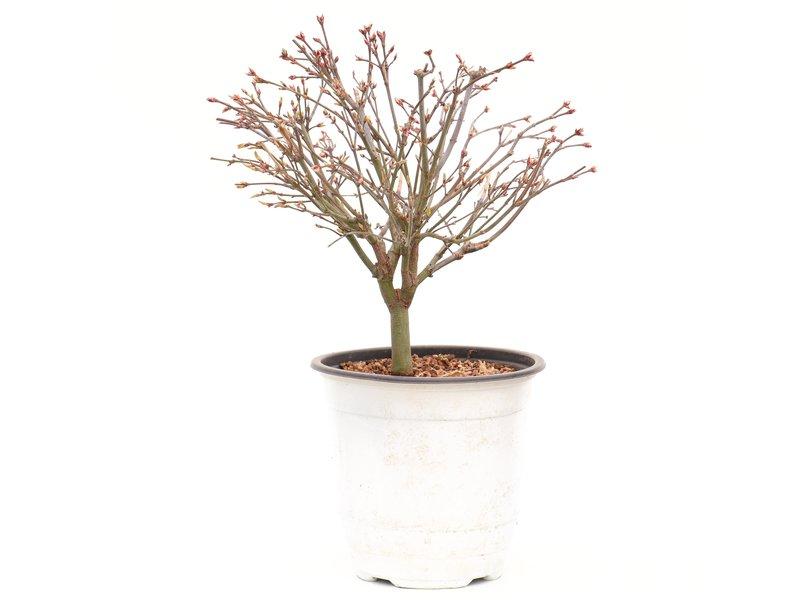 Acer palmatum Kiyohime, 22 cm, ± 9 jaar oud