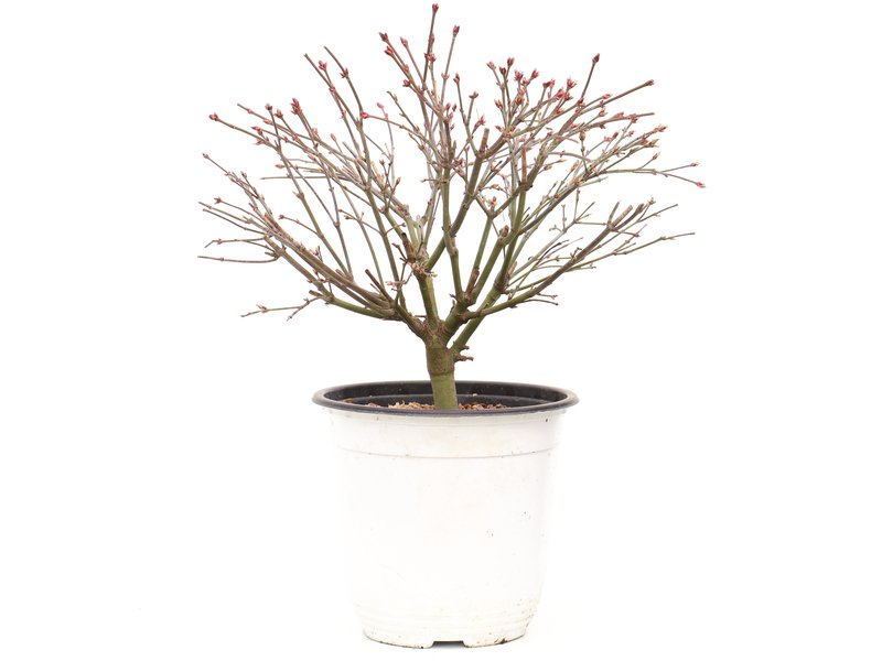Acer palmatum Kiyohime, 23 cm, ± 9 jaar oud