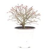 Acer palmatum Kiyohime, 17,5 cm, ± 9 jaar oud