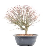 Acer palmatum Kiyohime, 27 cm, ± 12 jaar oud