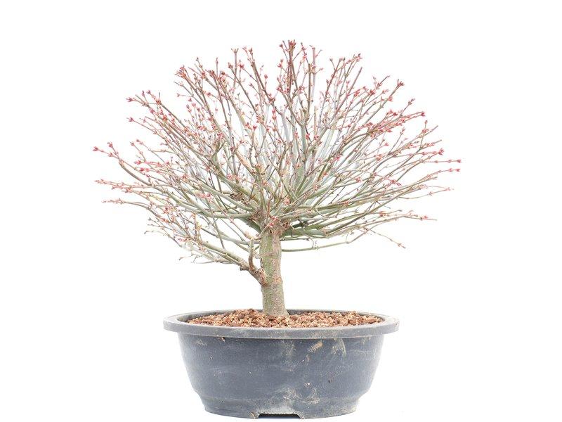 Acer palmatum Kiyohime, 28,5 cm, ± 12 jaar oud
