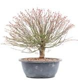 Acer palmatum Kiyohime, 26,5 cm, ± 12 jaar oud