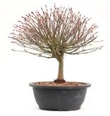 Acer palmatum Kiyohime, 29,5 cm, ± 12 jaar oud
