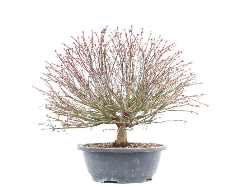 Acer palmatum Kiyohime, 31,5 cm, ± 12 jaar oud