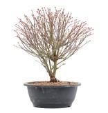 Acer palmatum Kiyohime, 31 cm, ± 12 jaar oud