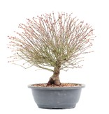 Acer palmatum Kiyohime, 29 cm, ± 12 jaar oud
