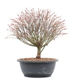 Acer palmatum Kiyohime, 28 cm, ± 12 jaar oud